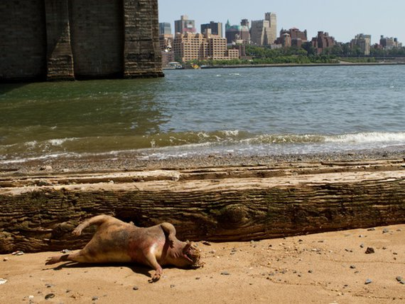Graphic Photo Shows Bloated Rat Monster Washed Up Near East River -  Gothamist